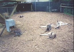 AE20	Kangaroos and wallabies at the wildlife reseve.