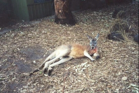AE28	Kangaroo at the wildlife reseve.