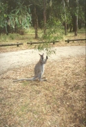 AF21	A Kangaroo at the Jimmy Creek Campground.