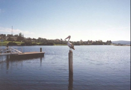 AG28	A Pelican on a pole at Mallacoota.