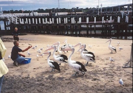 AH29	Feeding the Pelicans.